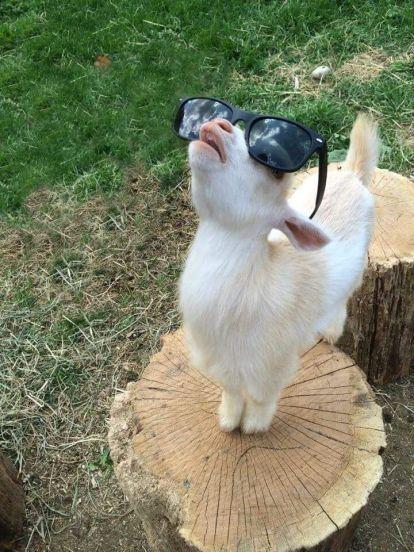 9dd7c48cc247baa9ac1d019c545fff41--pigmy-goats-im-fabulous